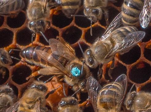 Königin, von der Imkerin mit blauem Punkt versehen