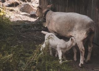Schaf (1 von 1)